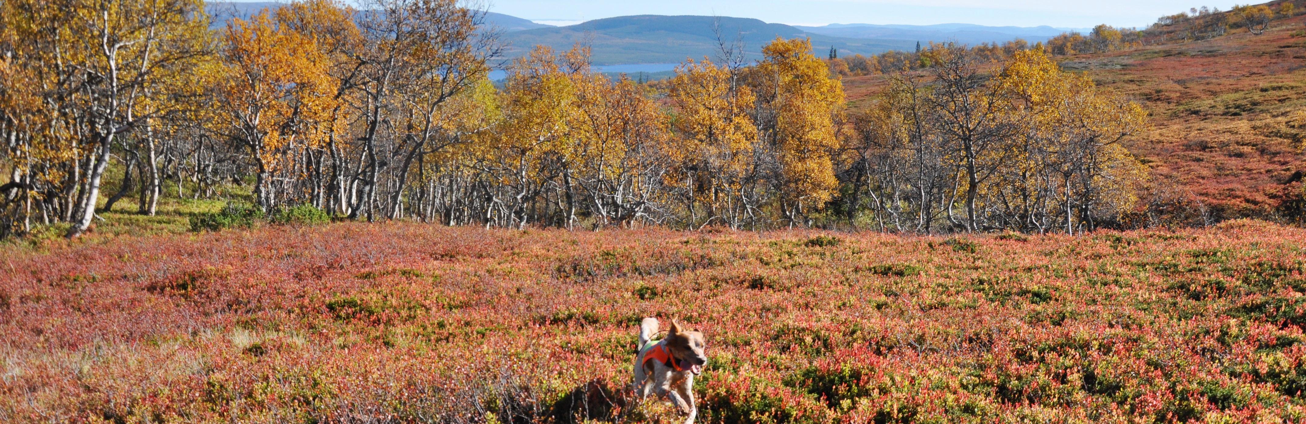 Ripvidets Gnista, Lofsdalen. Ägare o Foto: Anna Norén