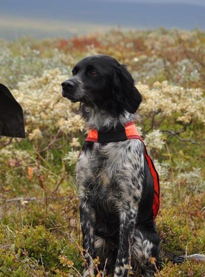 Rapport Från Jaktprov Klimpfjäll 12–13 Sept – Fler Foton