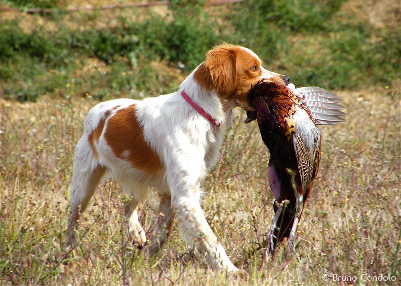 Resultat VM För Stående Fågelhundar