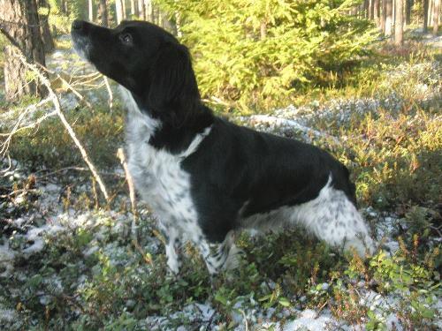 Jaktåsens Kennel,  Sju Valpar Föddes 13-06-14, Samtliga är Placerade